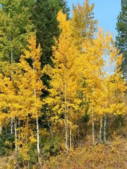 Aspens, Grand Teton National Park, Sept. 2012