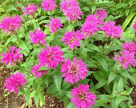 Deep pink Bee Balm