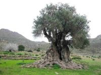 trees-1000+-year-old-tree-on-Greek-island-of-Aegina