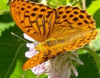 Butterfly - high brown fritillary