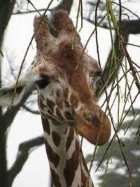 Zoo #12 -- one more giraffe portrait