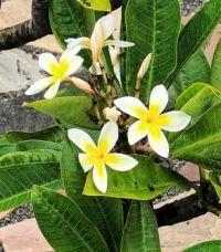 Yellow Plumeria Blossoms