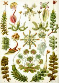 Haeckel_Hepaticae