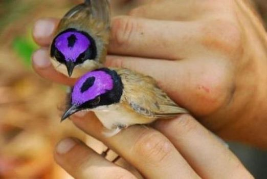 Male Purple-crowned Fairy-wrens, endemic to Australia