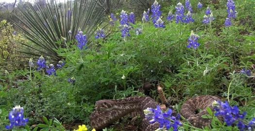 Why Texans Don't Pick Bluebonnets