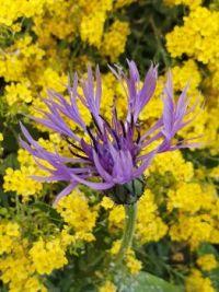 Cornflower before alyssum