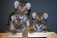 Tiger Cubs at Potter Park zoo, Lansing, Mi.