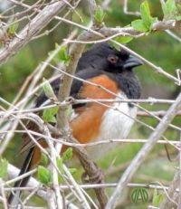 More Birds: Eastern (formerly Rufous-Sided) Towhee