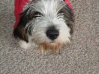 PBGV Holly Sends Best Wishes to All Veterans!