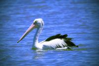 Lonely Pelican in the mouth of the Murray River, Western Australia