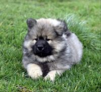 Puppy Eurasier