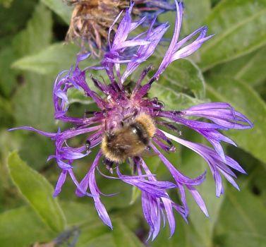 Garden - Bee on Centaurea / Perennial Cornflower Bloom