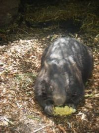 Wombat eating ear of corn