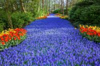 Floral Stream at the Keukenhof
