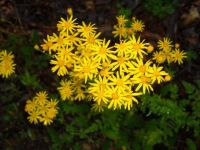 The Colors of Nature, Ragwort
