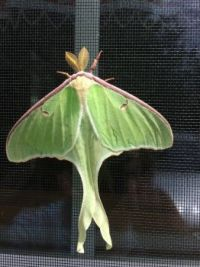 Luna Moth by Liz