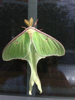 Luna Moth by Liz