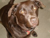 Eilidh. The Chocolate Labrador