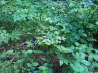 borůvčí / blueberry bush