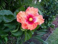 Maui Hibiscus