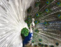 white and colorful peacock