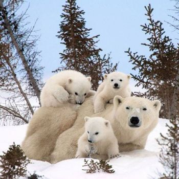 Polar bear and her babies