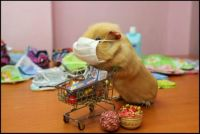 Guinea pig with a protective mask and a toy shopping cart in Kharkiv, Ukraine.