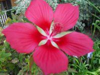 """A """"Florida"""" Texas star hibiscus"""