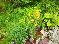 Yellow Irises with sedum, hostas