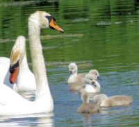 yet another swan family....