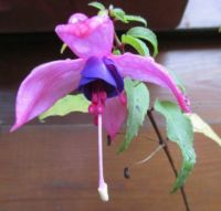 My Fuchsia's....very last flower