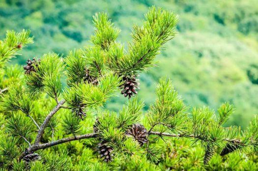 Placid Pinecone View