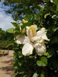 Hibiscus White Kalakua
