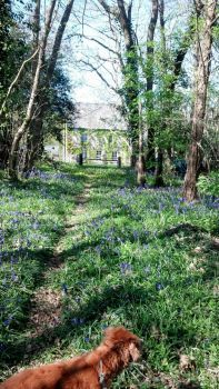 Here come the bluebells!