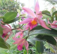 Maggies orchid
