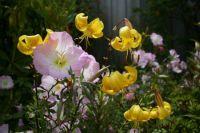 Lilium 'Citronella' and Evening Primrose