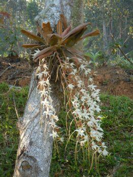 epiphyte orchid, Madagascar