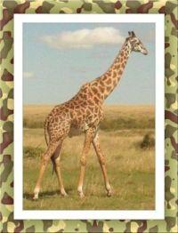 Žirafa - safari v Keni...   Giraffe - safari in Kenya ...