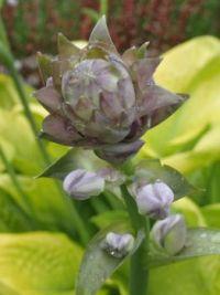 Hosta flower bud
