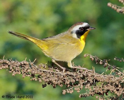 Male Common Yellowthroat sings witchity witchity witchity