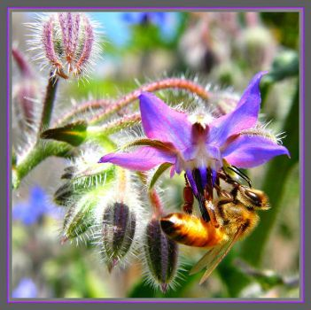 Bee on Wild Borage flower