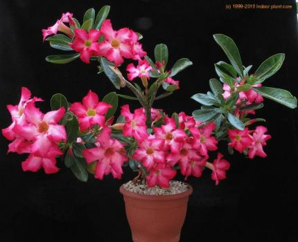 Adenium Obesum    ♥ For all of you ♥