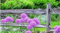 Allium With Fence ~ for Marilyn☺