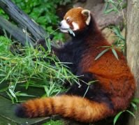 red panda - philly zoo