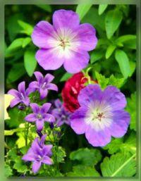 Cranesbill Geranium and Campanula wattiana (Watts Bell flowers)