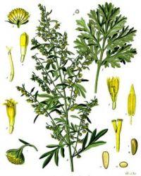 Absinthe #3 - Artemisia absinthium - third in a series