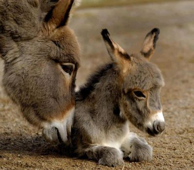Donkey Jenny and her foal