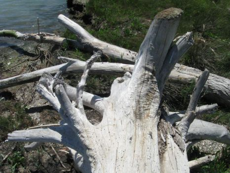Driftwood brought by the Soča river