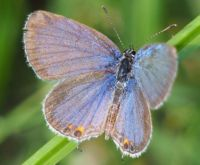 Eastern Tailed-Blue, Cupido comintas