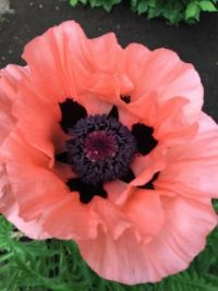 Julie's Poppy